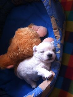 The Brave Yorkshire Terrier Pups Size Westie Puppies, Yorkshire Terrier Puppies, Yorkie Puppy, Dogs And Puppies, Westies, Cute White Puppies, Cute Dogs, Cute Dog Pictures, Dog Photos