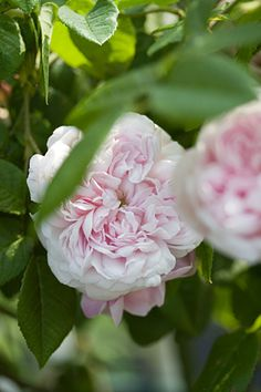 Gallica Rose: Rosa 'Antonia d'Ormois' (France, before 1835)