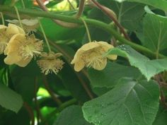 In order for the plant to set fruit, both male and female kiwi vines are necessary. But one question plagues the grower. How do I tell the difference between male and female kiwis? Learn how in this article. Fruit Plants, Fruit Trees, Fruit Bushes, Fruit Garden, Kiwi Growing, Kiwi Vine, Kiwi Berries, Organic Gardening Tips, Urban Gardening