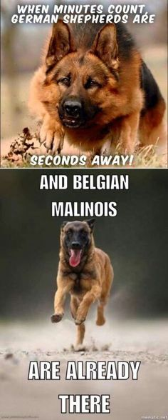 bottom one is the Malinois obviously. I'd like to see him at more of an angle, though, and I like the tongue out if we can also see his fangs Military Working Dogs, Military Dogs, Police Dogs, Belgium Malinois, Belgian Malinois Dog, Belgian Shepherd, German Shepherd Dogs, Dog Body Language, War Dogs