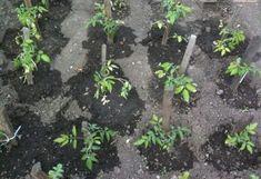 Зола для рассады томатов