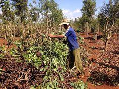 Người dân ồ ạt chặt bỏ cây càphê Tây Nguyên có nguy cơ mất cân đối cây trồng   Do sản lượng càphê vụ này gần như mất trắng vì hạn hán người dân Tây Nguyên đang có xu hướng chặt bỏ cây càphê để đầu tư vào cây tiêu gây nguy cơ mất cân đối quy hoạch cây trồng chủ lực mang lại giá trị kinh tế cao tại vùng đất đỏ bazan này.  Hạn hán khiến nhiều hecta càphê chết hoặc giảm năng suất nông dân phải chặt bỏ đầu tư vào cây trồng khác. (Ảnh minh họa)  Theo Bộ NNPTNT do ảnh hưởng của biến đổi khí hậu từ…