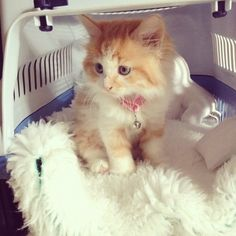 cute ginger kitten in a carry-on