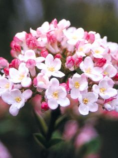 intensely fragrant pink/white flowers from reddish buds in the spring. Fruits of Viburnum Mohawk are red maturing to black. Superb disease resistance, and glossy foliage. Leaves take on a warm orange-red hue in autumn. Garden Shrubs, Flowering Shrubs, Trees And Shrubs, Garden Plants, Fence Garden, Shade Garden, Beautiful Gardens, Beautiful Flowers, Pink And White Flowers