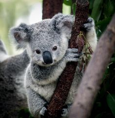 The koala is one of the few mammals (other than primates) that has fingerprints. Koala fingerprints are so similar to human fingerprints that even with an electron microscope, it can be quite difficult to distinguish between the two. Cute Baby Animals, Funny Animals, Wild Animals, Animal Babies, Young Animal, Anime Animals, Jungle Animals, Farm Animals, Koala Baby