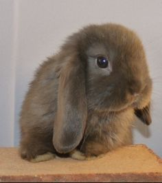 Look at all of our pictures of Fox and Rabbits ! I hope you enjoy what we are showing ! Mini Lop Bunnies, Funny Bunnies, Baby Bunnies, Cute Bunny, Bunny Rabbits, Animals And Pets, Baby Animals, Cute Animals, Cutest Bunny Ever