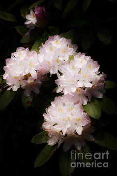 Beauty of Petals by Marcia Lee Jones