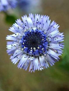 globularia alypum  küre  çiçeği