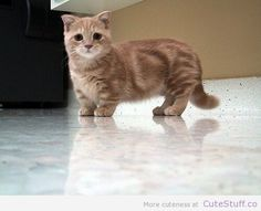 This is a munchkin Scottish fold.I could have a munchkin cat! Munchkin Cat Scottish Fold, Munchkin Kitten, Tiny Kitten, Cute Baby Animals, Animals And Pets, Funny Animals, Animals Planet, Cat Kawaii, Gatos Cat