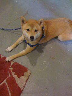 "@savings has the cutest dogs ever! Here's ""KEEP,"" a shiba-inu with a heart of gold!"