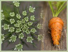Homegrown Carrot with Carrot Flower Carrot Flowers, Carrots, Vegan, Vegetables, Cooking, Food, Meal, Kochen, Essen