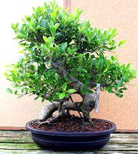 ginseng_ficus_bonsai3