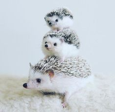 One, two, three! - Fadey - One, two, three! Baby Animals Super Cute, Pretty Animals, Cute Little Animals, Cute Funny Animals, Animals Beautiful, Cute Cats, Hedgehog Pet, Cute Hedgehog, Baby Animals Pictures