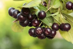 Do you want a super fruit that is super easy to grow? Aronia berries are exactly what you are looking for. Also known as chokeberry, this small shrub is Fruit Plants, Fruit Garden, Berry Plants, Growing Ginger Indoors, Small Shrubs, Small Trees, State Foods, Us Foods, Make Up