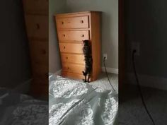 Loki plays hide and seek - This cat figured this out by himself! If you consider how complex this is, you then realize that for a cat to come up with it is utterly remarkable!