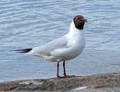 Skrattmås, Larus ridibundus - Fåglar - NatureGate