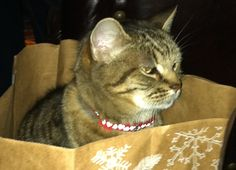 Chips the gray and black striped tabby cat is missing from Phoenix, AZ...Help!