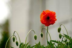 #Poppy #RedFlowers #FloresRojas