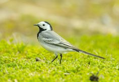 Naturally, Motacilla alba (just its colors) - bird as it looks like, just removed the green of the surroundings and warm light on white leathers White Feathers, Birds, Black And White, Green, Nature, Animals, Warm, Collection, Colors