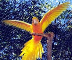 "albino ""golden"" macaw wing spread"