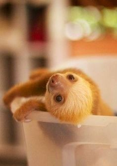 Curious baby sloth