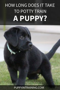 How Long Does It Take To Potty Train A Puppy? - Black Lab puppy going pee in the grass staring off to the right of the pic. Puppy Potty Training Tips, Dog Training Near Me, Dog Training Treats, Dog Training Videos, Best Dog Training, Black Lab Puppies, Labrador Puppies, Funny Animal Jokes, Dog Training Techniques