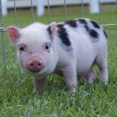 Carolina Mini Pig - Colton (AMPA) Mini Pigs For Sale, Juliana Pigs, Pets, Happy, Animals, Animales, Animaux, Ser Feliz, Animal