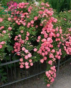 Розы - Шрабы (кустовые розы) - Роза Ферди. (Ferdy). Cадовый интернет-магазин ZvetSad.com.ua
