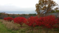 Burning bush makes quite a statement in the fall garden. Organic Fertilizer, Organic Gardening, Red Shrubs, Euonymus Alatus, Burning Bush, Worm Composting, Potting Soil, Autumn Garden, Better Homes And Gardens