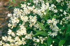 PHS | Gold Medal Plant Award ProgramDescription:Fine-textured shrub suited to the small garden (2' tall, 5' spread) and makes an excellent ground cover. It is a rapid grower with abundant small white flowers starting in late May and burgundy-colored foliage in the fall. This Deutzia prefers part shade in areas with hot summer temperatures. Hardy in zones 4 to 8. Hardiness Zones:4 to 8 Sun/Shade Preference:Partial Soil Condition Preference:Moist