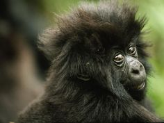 Baby Mountain Gorilla Nearly half of the world's remaining mountain gorillas—including this infant—live in the Virunga mountains of central Africa, at the intersection of Uganda, Rwanda, and. Gorilla Gorilla, Gorillas In The Mist, Baby Gorillas, Animals And Pets, Baby Animals, Cute Animals, Animals Planet, Exotic Animals, Wild Animals