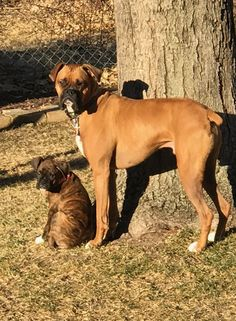 For the life and love of Chief the Boxer My goodness my boys take my breath away
