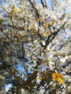 May 15, 2019. Serviceberry May, Plants, Planters, Plant, Planting