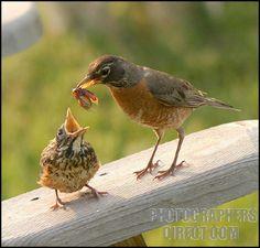 Robin Feeding Babies | ... of Mother Robin feeding Baby Robin a Bug stock photo pd602924.jpg