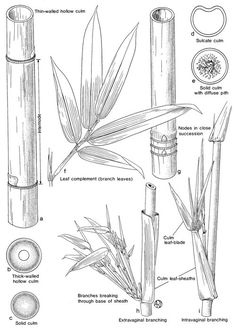 27 best bamboo anatomy images on pinterest anatomy anatomy rh pinterest com Baboo Plant and Its Parts Bamboo Plant Structure Diagram