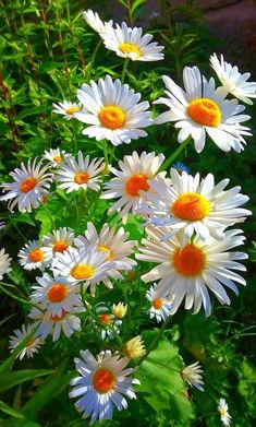 Carnations and daisies are two popular flowers that add a great touch to any garden. Learn how to grow carnation and daisy flowers in your home garden. Exotic Flowers, Amazing Flowers, White Flowers, Beautiful Flowers, Beautiful Moments, Purple Flowers, Beautiful Pictures, Beautiful Landscapes, Beautiful Gardens