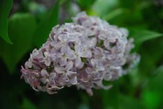 Mmmm... the scent of lilacs!  Make some lilac sachets to keep their memory alive!