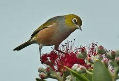 Image result for naTIVE N.Z. BIRD pics