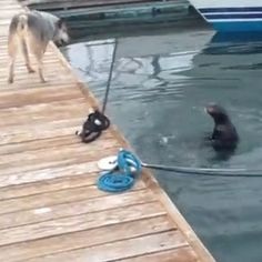 Sea otter plays hide and seek in the water, teasing and trolling an increasingly frustrated dog stuck on a dock in this viral video.