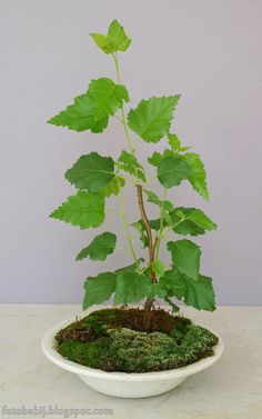 Darmowe zdjęcia na tapety, e-kartki, sentencje... Free Photos : Moje bonsai, Brzoza brodawkowata   Wallpaper 4K 21...