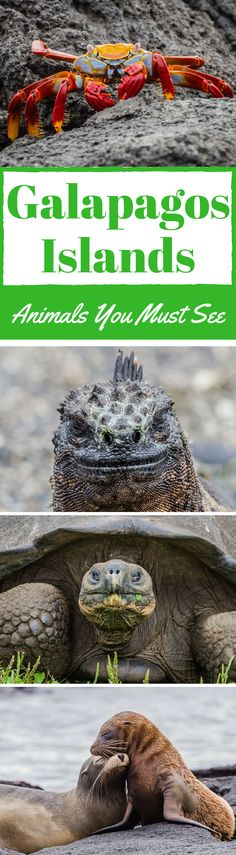 Unique Galapagos Islands, Animals You Must See. Composed of 58 volcanic islands, the Galapagos archipelago in Ecuador is known for its biodiversity, extreme exuberance and unique Galapagos Islands animals. Click to read more. #Galapagos #Islands #Travel #Wildlife #Animals