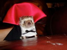 A vampire disguise seems like a good idea. | 25 Hedgehogs Trying To Escape Their Identity
