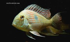 Geophagus sp. Pindare Saltwater Aquarium Fish, Freshwater Aquarium, Diy Aquarium Filter, South American Cichlids, New Tank, Colorful Fish, Central America, Fish Tank, Fresh Water