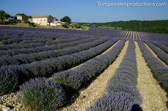 Campos de lavanda en Sault en Provence en Francia