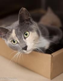 Available for adoption at Greenville County Animal Care Services in Greenville SC.   Animal ID: 20885057 Breed: Domestic Shorthair / Mix Age: 1 year 2 months Gender: Female Color: Grey / White Spayed/Neutered: No Declawed: No