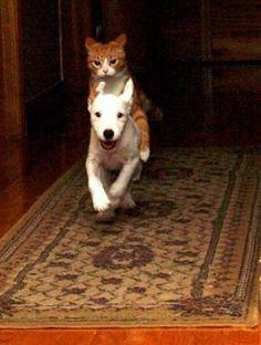 "velveteenrabbit: "" animals-riding-animals: "" cat riding dog  I. """
