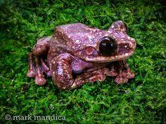 Rabbs' Fringe-limbed Tree Frog, Ecnomiohyla rabborum; Photo Credit: Mark Mandica