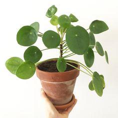 Vorig jaar kreeg ik mijn eerste pannenkoekenplant van een vriendin. Ik was onmiddellijk fan. Dat ik niet de enige ben die deze plantjes...