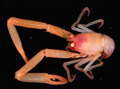 コシオリエビ、ニュージー深海の生物