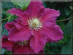 clematis 39 etoile violette 39 clematis viticella planting ideas back garden pinterest clematis. Black Bedroom Furniture Sets. Home Design Ideas